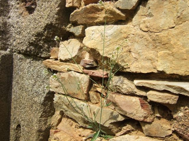 Arabidopsis thaliana - arabette des dames  Dscf4316