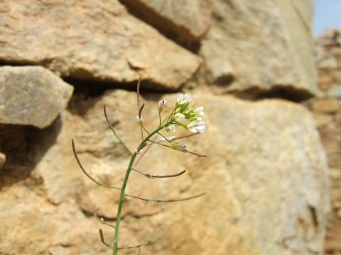 Arabidopsis thaliana - arabette des dames  Dscf4317