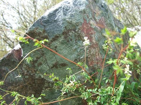 Ceratocapnos claviculata - corydale à vrilles Dscf4320