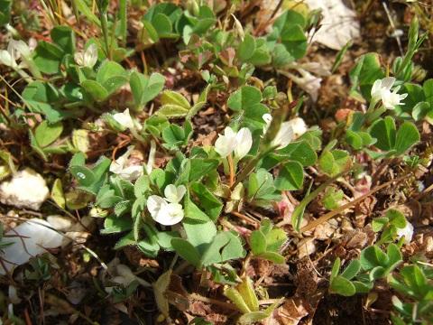 Trifolium subterraneum - trèfle enterré Dscf4326