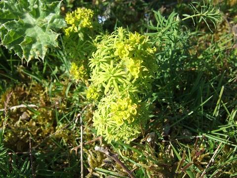 Euphorbia cyparissias - euphorbe petit cyprès Dscf4610