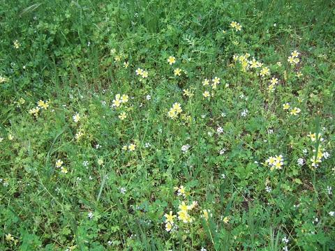 Limnanthes douglasii - plante œufs au plat Dscf4615