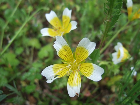 Limnanthes douglasii - plante œufs au plat Dscf4616