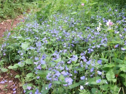 Veronica chamaedrys var. chamaedrys - véronique petit-chêne Dscf4723
