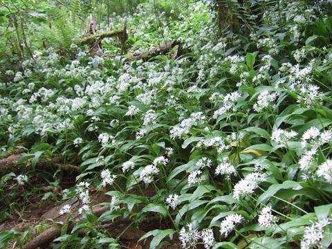 Allium ursinum - ail des ours Dscf4725