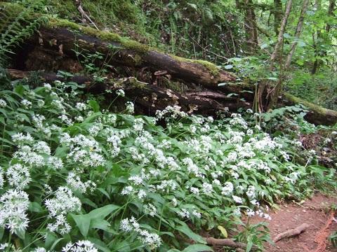 Allium ursinum - ail des ours Dscf4726