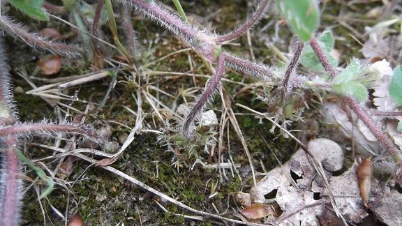 Trifolium subterraneum - trèfle enterré Dscf4732