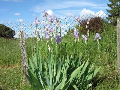 Floraisons de nos Iris barbus 2013 - Page 3 Dscf4821