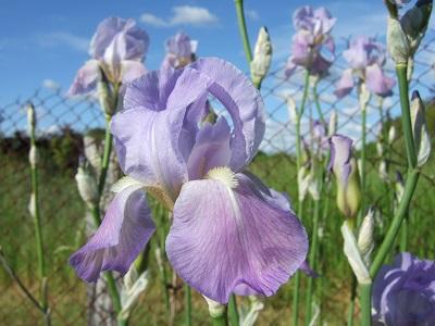 Floraisons de nos Iris barbus 2013 - Page 3 Dscf4822