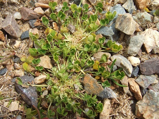 Trifolium suffocatum - trèfle étranglé Dscf4834