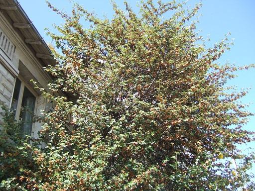 Fremontodendron californicum Dscf4844
