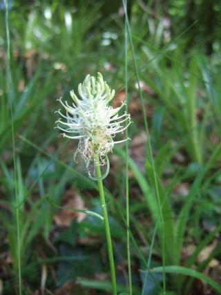 Phyteuma spicatum - raiponce en épi Dscf4847