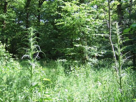 Cirsium palustre - cirse des marais  Dscf4911
