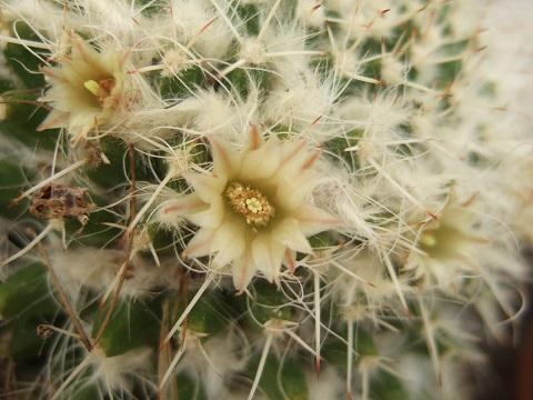 Mammillaria karwinskiana Dscf4925