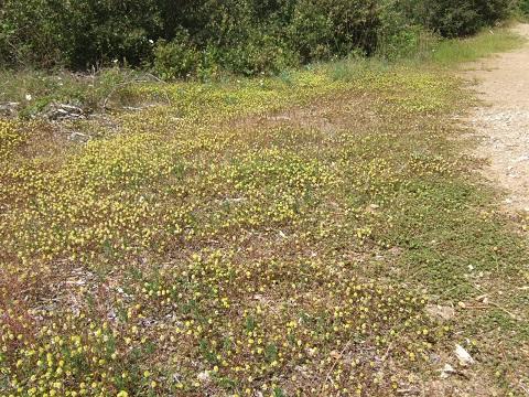 Trifolium campestre - trèfle des champs, trèfle jaune Dscf5011