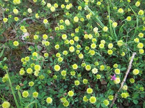 Trifolium campestre - trèfle des champs, trèfle jaune Dscf5012