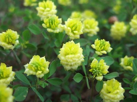 Trifolium campestre - trèfle des champs, trèfle jaune Dscf5013