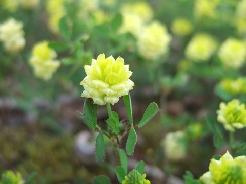 Trifolium campestre - trèfle des champs, trèfle jaune Dscf5014