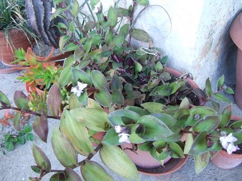 Tradescantia cerinthoides (=Tradescantia blossfeldiana) Dscf5124