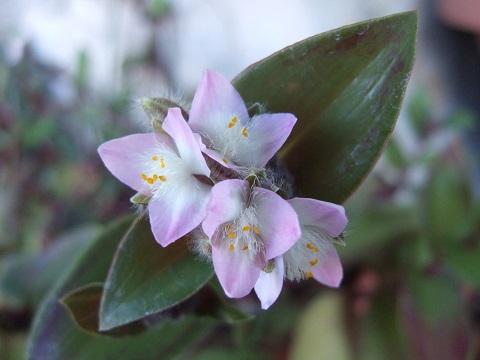 Tradescantia cerinthoides (=Tradescantia blossfeldiana) Dscf5125