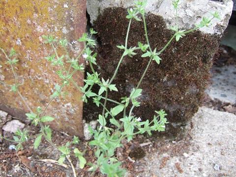 Campanula erinus - campanule à petites fleurs Dscf5210