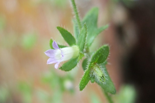Campanula erinus - campanule à petites fleurs Dscf5213