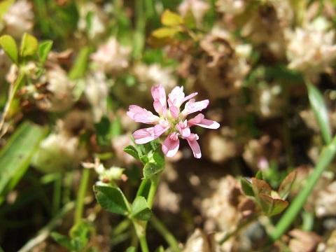 Trifolium resupinatum - trèfle résupiné Dscf5320