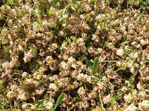 Trifolium resupinatum - trèfle résupiné Dscf5321