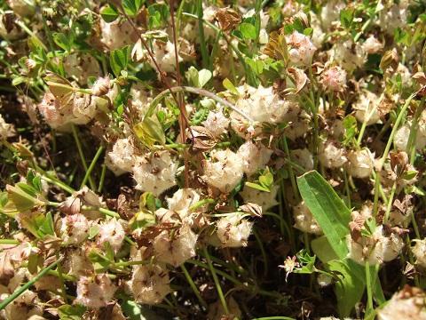 Trifolium resupinatum - trèfle résupiné Dscf5322