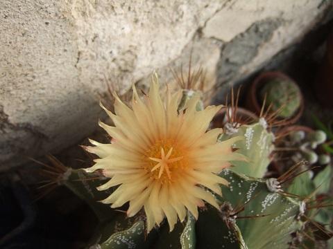 Astrophytum ornatum Dscf5512