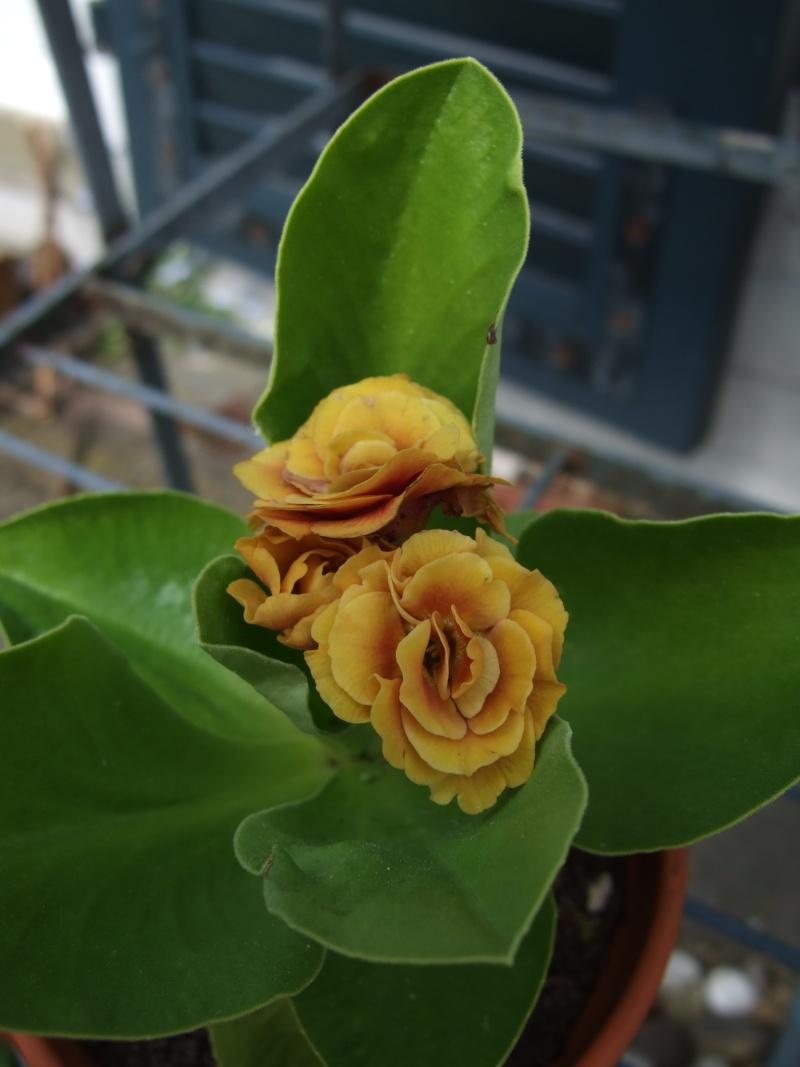 Gattung Primula - Primeln, Aurikeln, Schlüsselblumen - Seite 2 Dscf5316