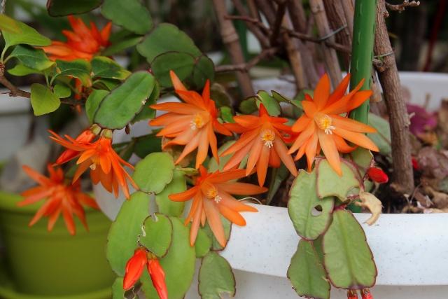 Hatiora rosea (= Rhipsalidopsis) - cactus de Pâques  - Page 2 Cactus10