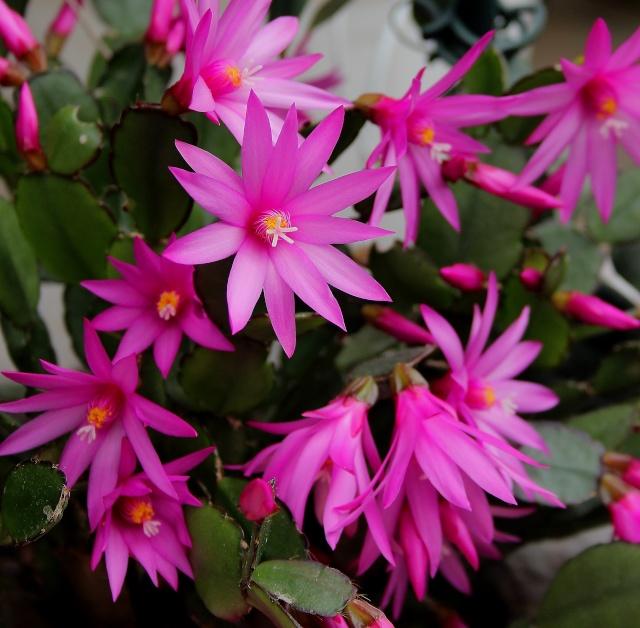 Hatiora rosea (= Rhipsalidopsis) - cactus de Pâques  - Page 2 Cactus11