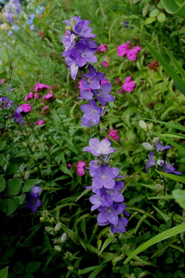 Campanule persicifolia sessiliflora [identification] Campan10
