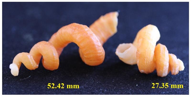 Siliquariidae_Sp_N°1 Aimg_011