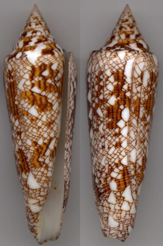 Conus (Cylinder) bengalensis   Okutani, 1968 Bengal11