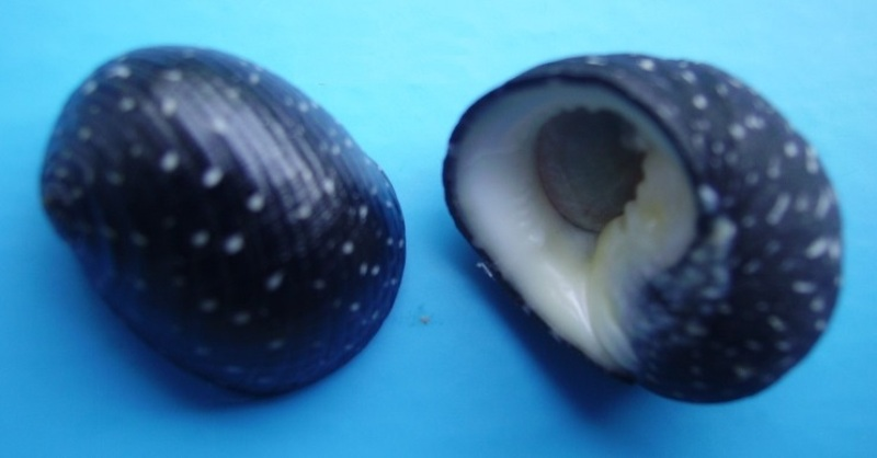 Nerita aterrima - Gmelin, 1791 Narite10