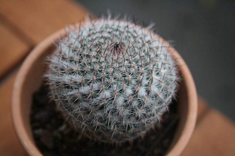 Id Mammillaria geminispina et hahniana, Echinocereus pentalophus, Aloe squarrosa et Echinopsis oxigona Img_9910
