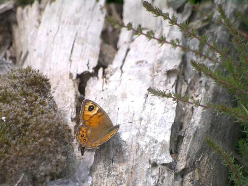 une nouvelle espèce de papillon de jour pour le Morbihan 13062710