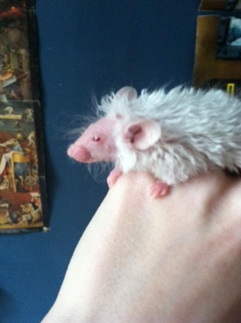 Struwwelpeter the texel hairless! Struww13