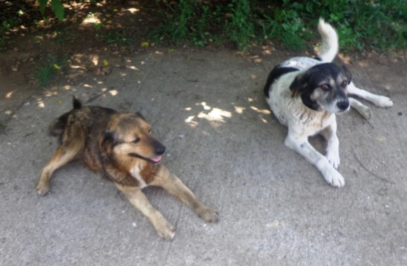 BENJI, X-M, Taille Moyenne - né en 2009 (Tamara) - En FA chez MALENI (Départ59) 03411