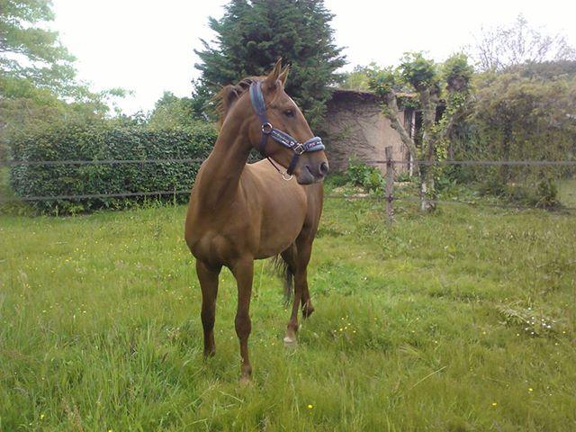 QUICKLY, poney New Forest PP, sauvé par Clémence64 !!!! (Mai 2013) Qui210