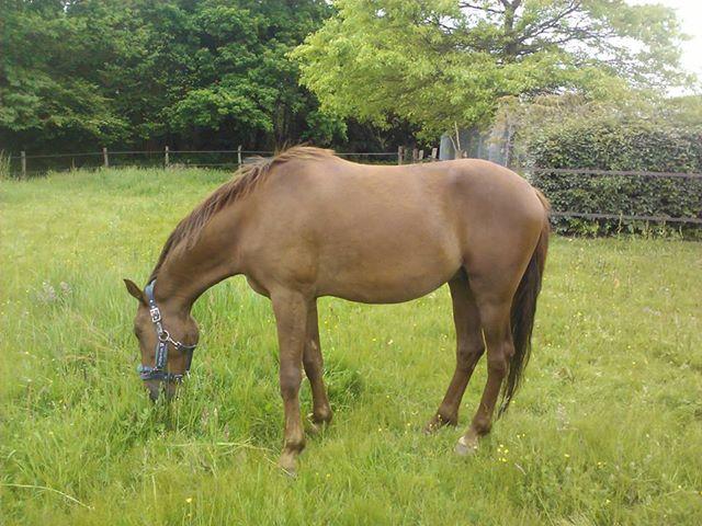 QUICKLY, poney New Forest PP, sauvé par Clémence64 !!!! (Mai 2013) Qui310