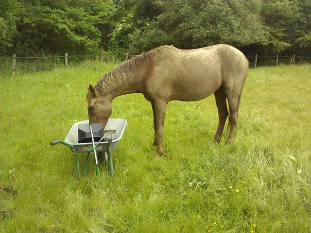 QUICKLY, poney New Forest PP, sauvé par Clémence64 !!!! (Mai 2013) Qui610