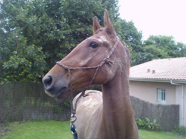 QUICKLY, poney New Forest PP, sauvé par Clémence64 !!!! (Mai 2013) Qui710