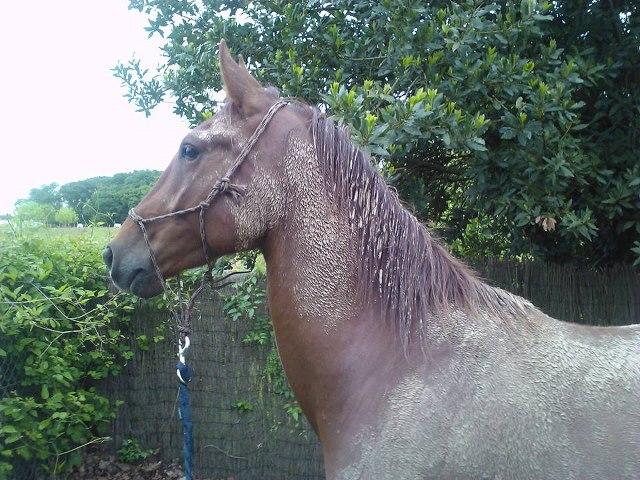 QUICKLY, poney New Forest PP, sauvé par Clémence64 !!!! (Mai 2013) Quik810
