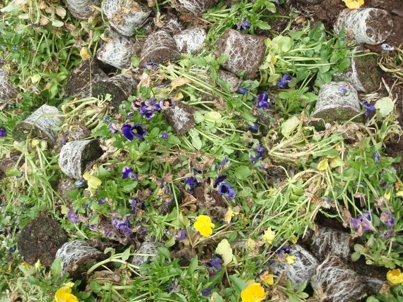Viola - Veilchen aller Art 07310
