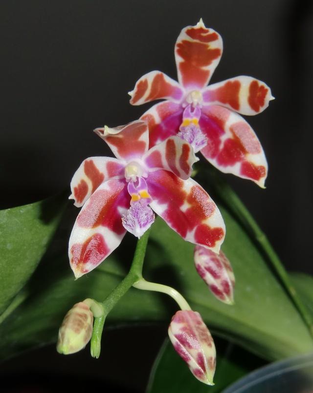 Phalaenopsis mariae, niemals? Mariae10