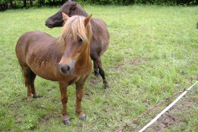 NOISETTE - ONC poney typée shetland née en 2000 - adoptée en juillet 2013 par Patrick  Dscf3738