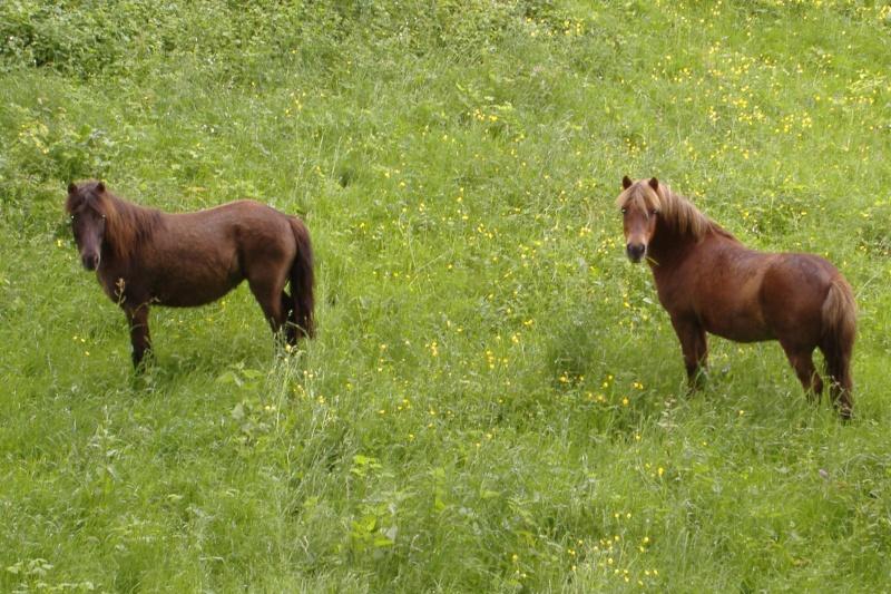 NOISETTE - ONC poney typée shetland née en 2000 - adoptée en juillet 2013 par Patrick  Dscf3741